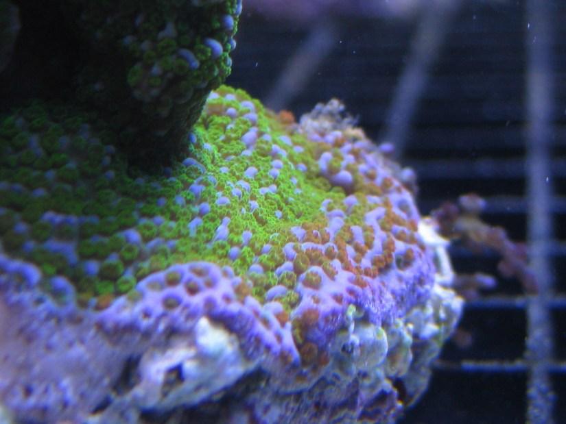 Montipora coral reef tank aquarium