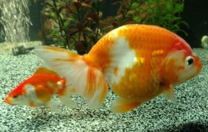 best fish to go with fancy goldfish