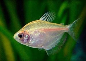 Can tetras go with goldfish
