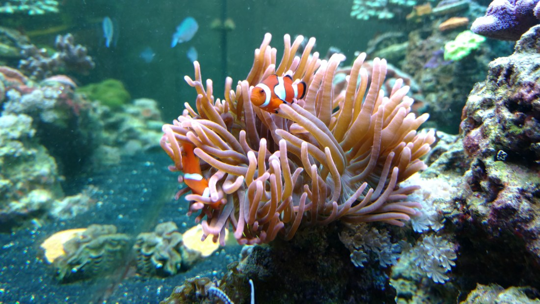 Rose bubble tip anemone hosting ocellaris clownfish