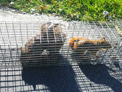 squirrels in trap