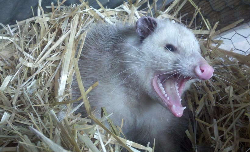 Opossum with Angry Teeth Makes Opossum Control Interesting Work