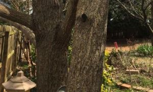 Tree with two trunks