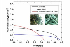Dye-sensitized solar cells using Aloe Vera and Cladode of Cactus extracts as natural sensitizers