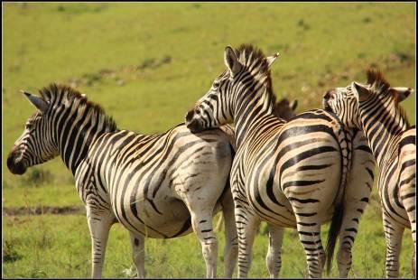 A suntanned zebra