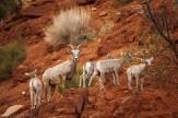 Monument Lambs