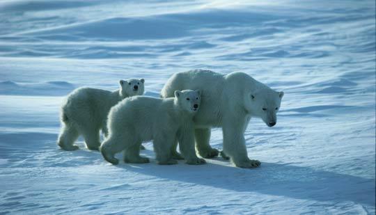 Polar Bear and her cubs near Churchill, Manitoba