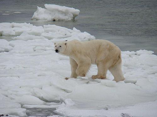 Polar bears in Greeland