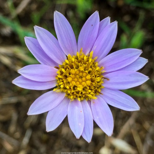 Wild flowers are in abundance after the winter burns. KwaZulu Natal Midlands. South Africa
