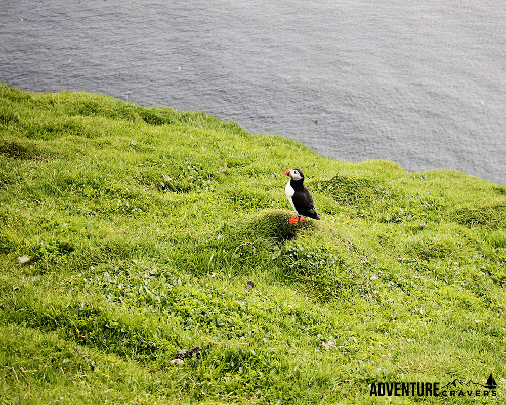 Solo Puffin on the island of Mykines in the Faroe Islands