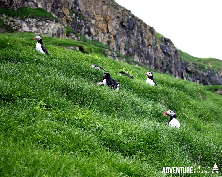 Field of Puffins on the island of Mykines in the Faroe Islands