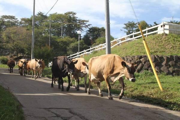 牛の大行列の写真