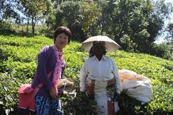 茶摘みをする女性の写真