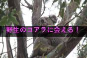 コアラアイキャッチ画像
