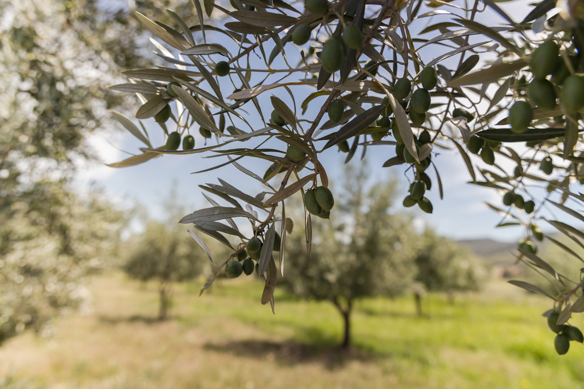 olives hanging from a tree