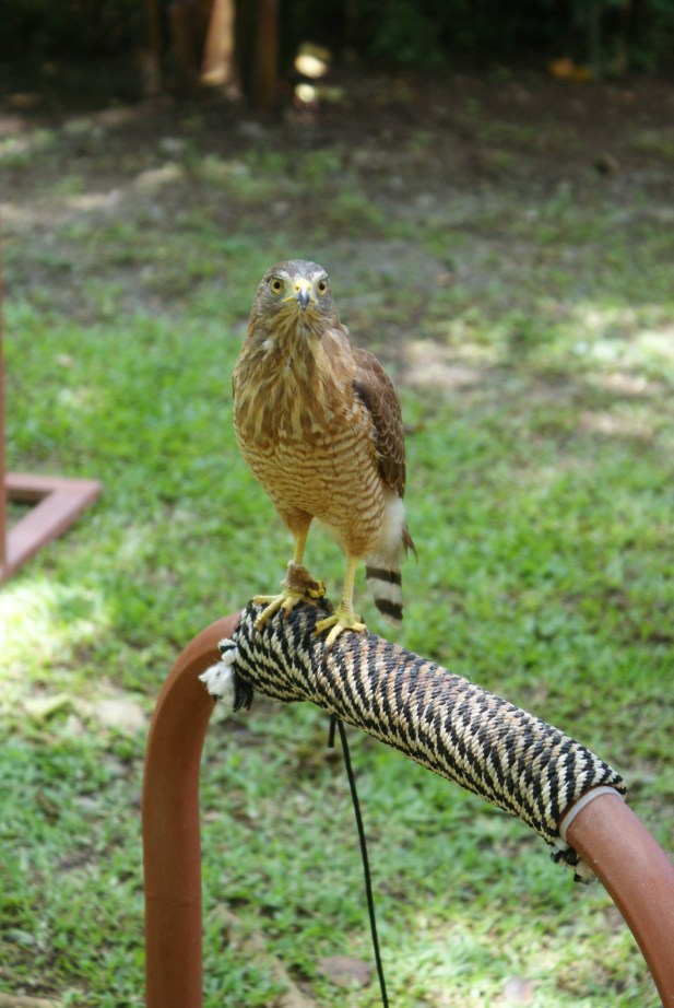 Injured Hawk named Jack Sparrow