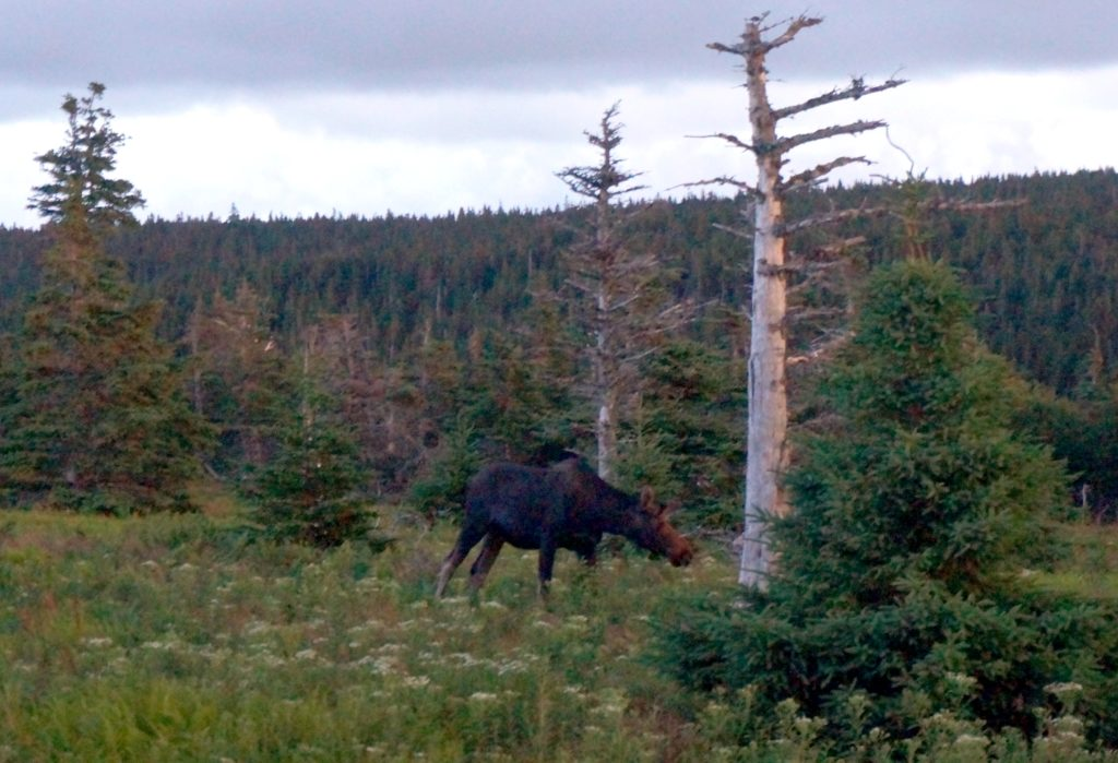 We saw this moose the next day on a hike.