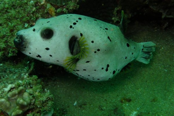 Puffer Fish - can puff up only few times in their life because each time they damage their internal organs
