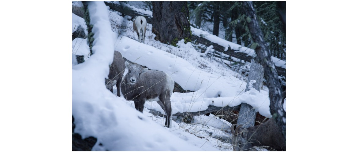 Mountain sheep in the forest, Banff National Park