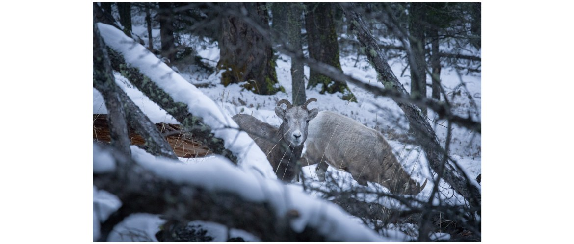 Mountain sheep, Mount. Norquay, Banff