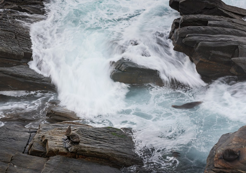 Staying still, New Zealand Fur Seal in the Flinders Chase National Park