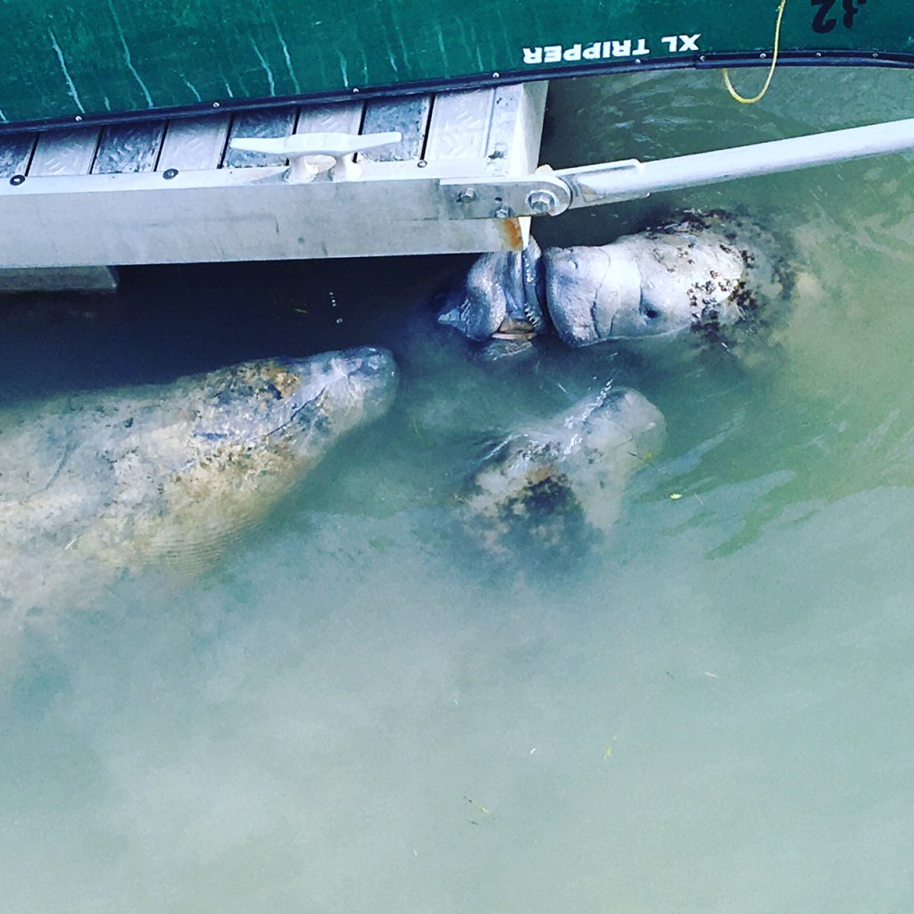 Manatees in the marina.
