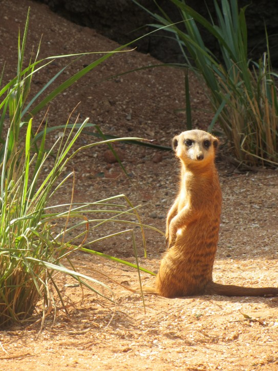A small meerkat sitting upright while basking in the sun.