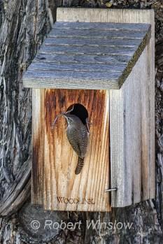 House Wren at Nest Box 0225W8WM
