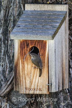 House Wren at Nest Box 0229W8WM