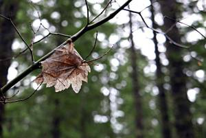 late autumn leaf