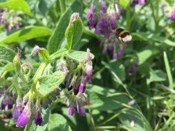 bumblebee flying to comfrey
