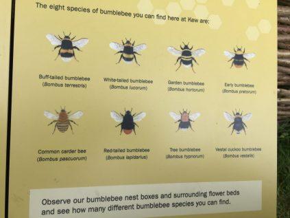 Bumblebee species at Kew
