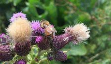 Honey bee on thistle