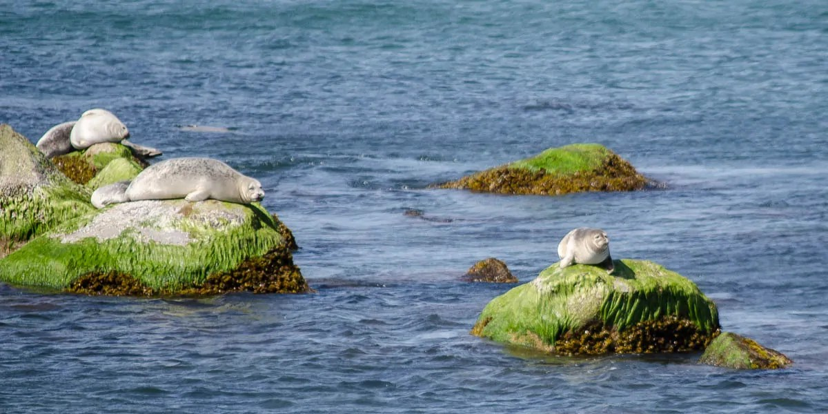 Seals on the rocks at Montauk Point State Park Seal Haulout Trail