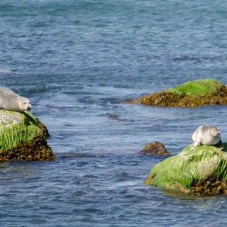 Seals at the Montauk Point Seal Haulout
