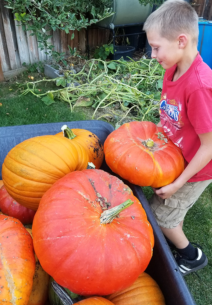 Boy filling a wheelbarrow with large pumpkins - Gardening with kids - Adventures in NanaLand