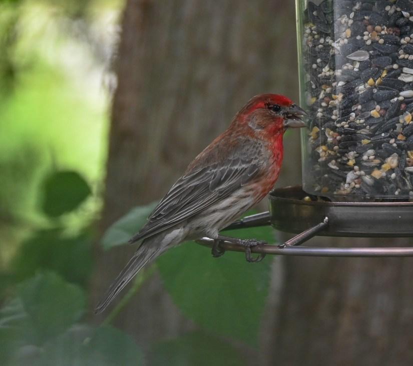 finches in Rhode Island