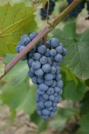 Grape Harvest in Northeast Ohio