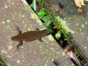 A tail-less skink