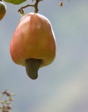 Food for pigs- a bad cashew nut