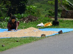 Drying the rice