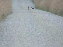 Hare and a pheasant perhaps? Lucky escape for now