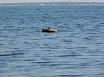 Seal8