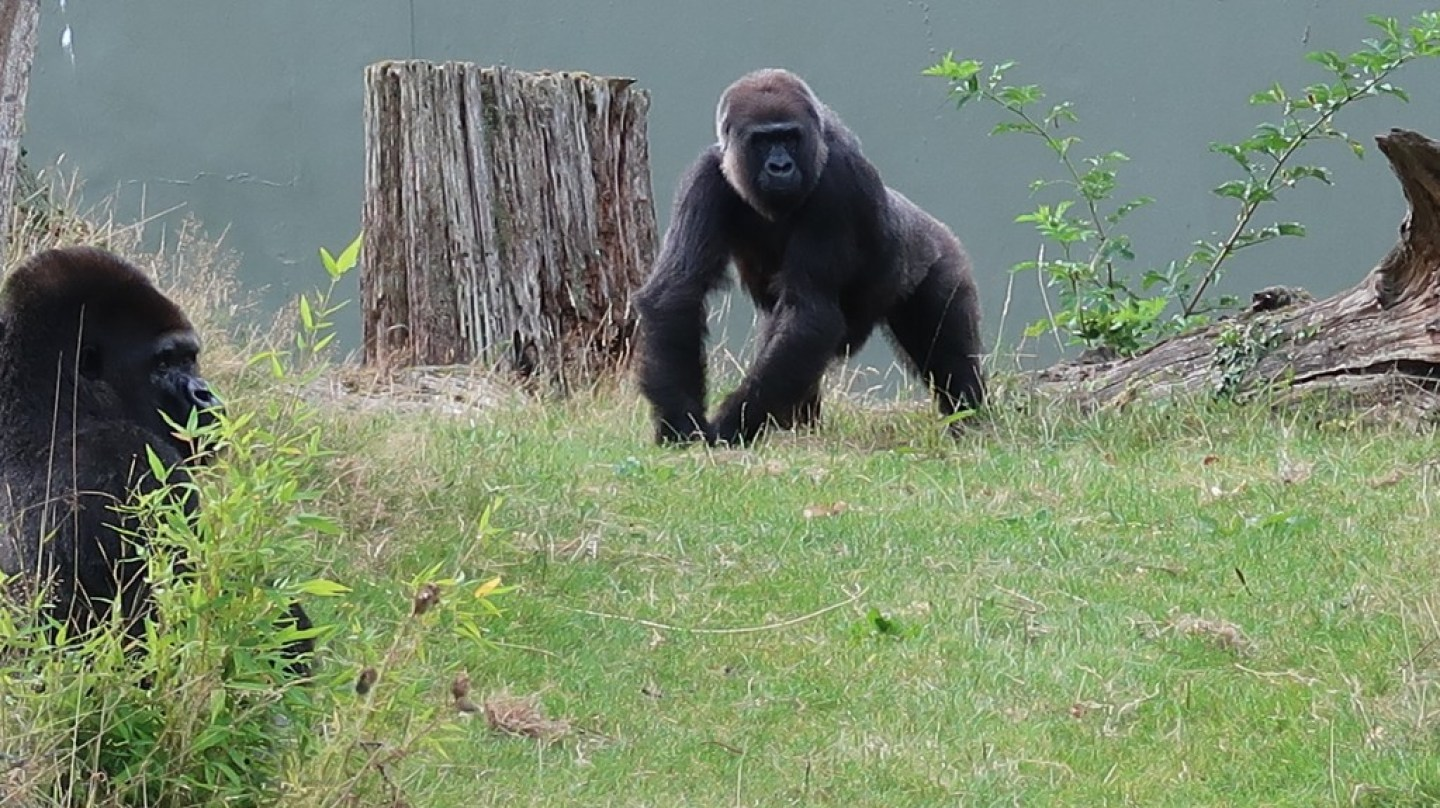 silverback gorillas at jersey zoo