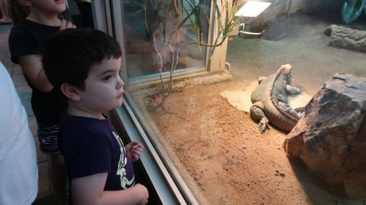boy looking at kimodo dragon at jersey zoo