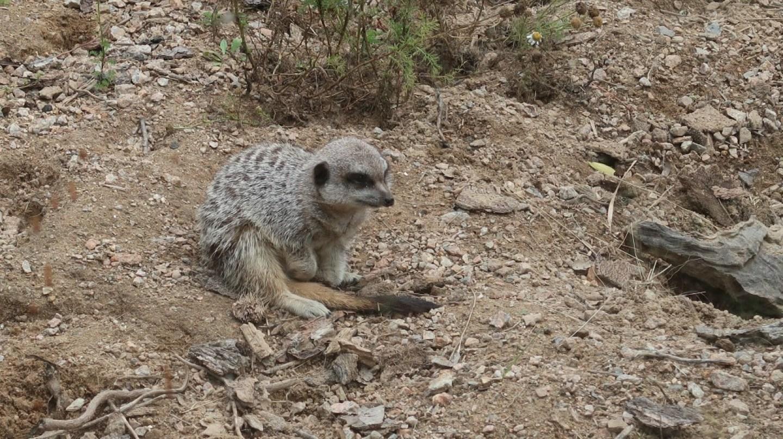 meerkat at jersey zoo