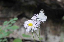 IMG_5711 daisy