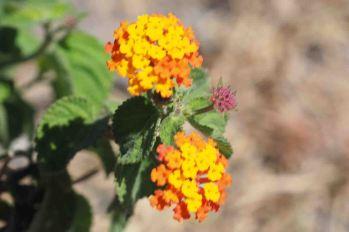 flowers nicaragua