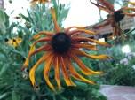 20170305_182204949_iOS-sunflower