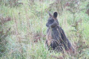 A very stout wallaby